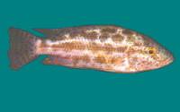 nimbochromis polystigma haplochromis polystigma verbreitung kommt an ...